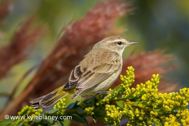 Palm Warbler, Black Point Wildlife Drive, Merritt Island National Wildlife Refuge, Florida, USA