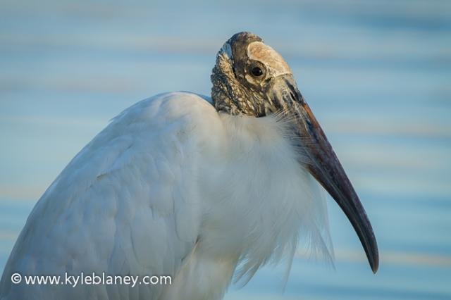 Wood Stork, Anastasia State Park, Florida, USA