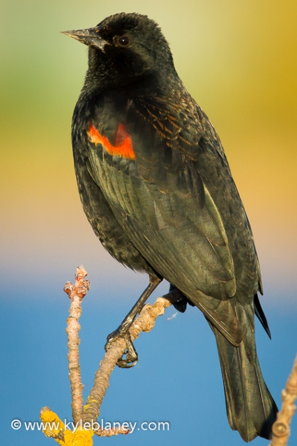 Red-winged Blackbird, Novato, California, USA