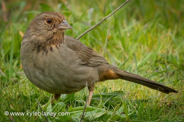 California Towhee, Doran County Park, Bodega Bay, California, USA