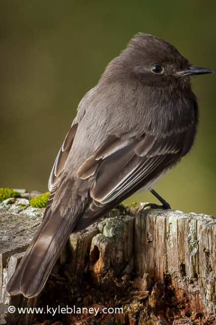 Black Phoebe, Point Reyes National Seashore, California, USA