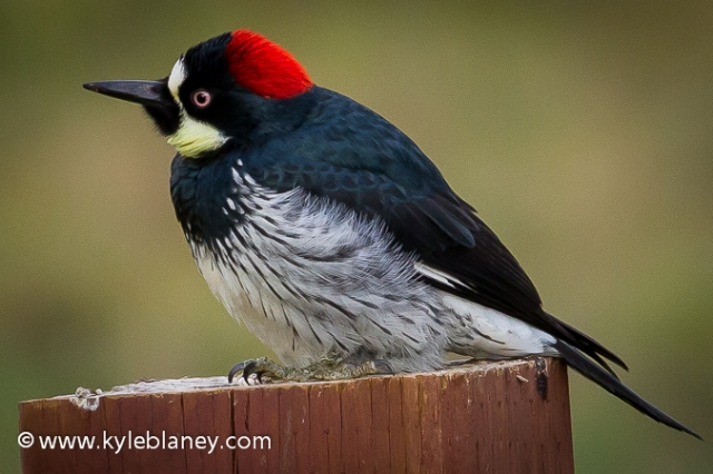 Acorn Woodpecker, Point Reyes National Seashore, California, USA