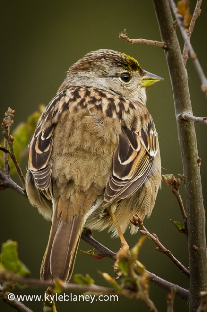 Golden-crowned Sparrow, Point Reyes National Seashore, California, USA