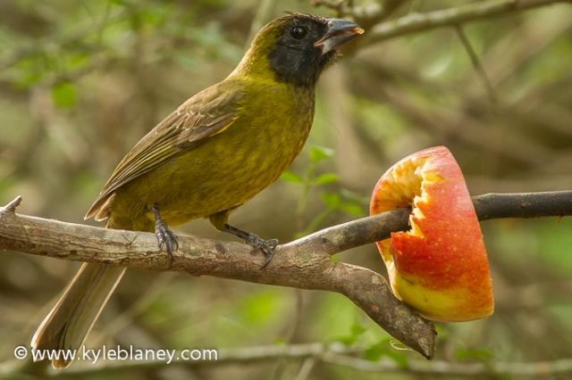 Crimson-collared Grosbeak, Sabal Palm Sanctuary, Texas, USA