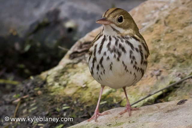 Ovenbird, South Padre Island Convention Center, Texas, USA