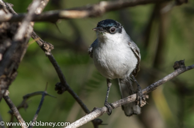 Black-capped Gnatcatcher, Montosa Canyon, Arizona, USA