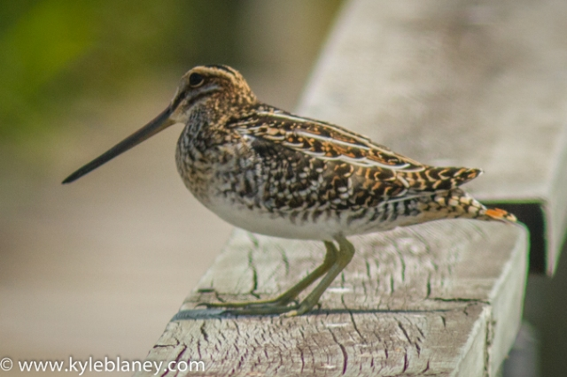 Wilson's Snipe, Oak Hammock Marsh, north of Winnipeg, Manitoba, Canada