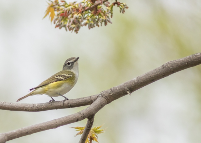 Blue-headed vireo, prince edward point national wildlife Area, Ontario, CANADA