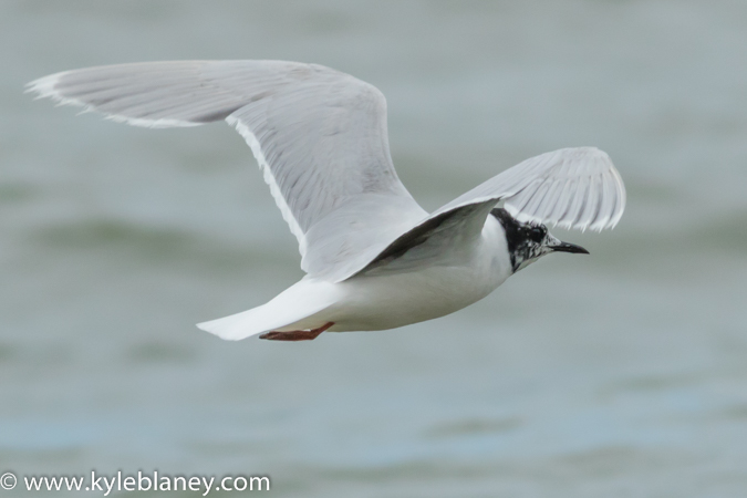 LITTLE GULL, NORTH BEACH PROVINCIAL PARK, ONTARIO, CANADA