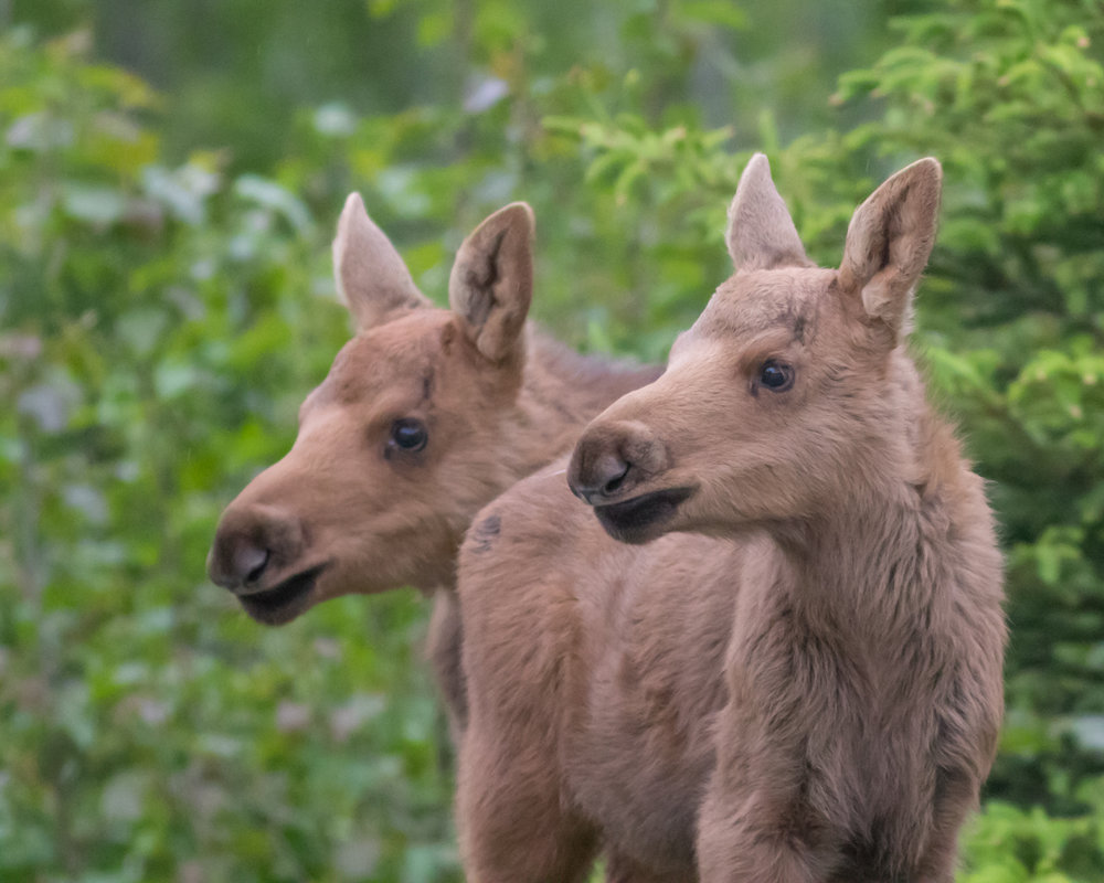 Baby Moose, Potter Marsh, Anchorage, Alaska