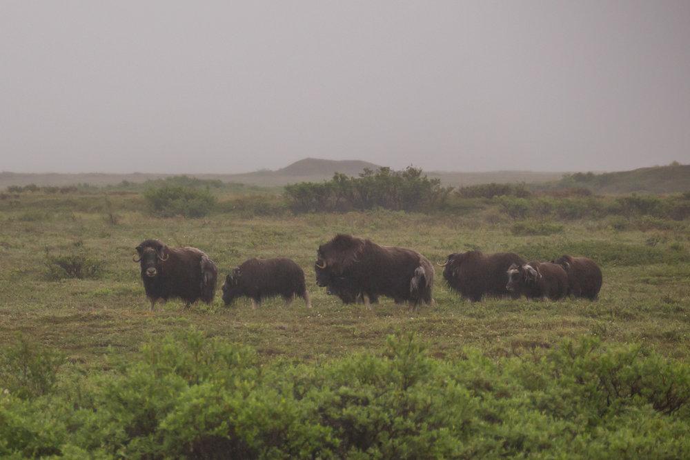 Musk Oxen, Nome-Teller Highway, Alaska