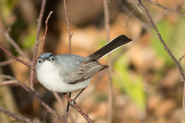 Blue-gray Gnatcatcher, Prince Edward Point National Wildlife Area, Ontario, Canada