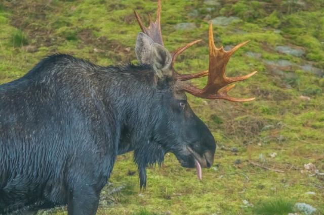 Moose, Norway Lake, Algonquin Provincial Park, Ontario, Canada