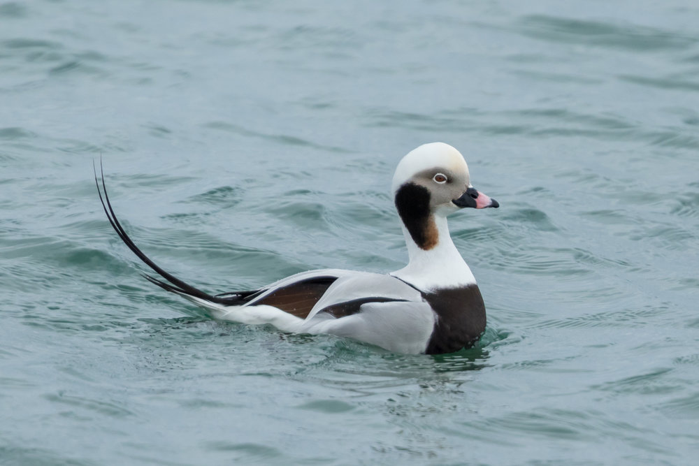 Long-tailed Duck - Prince Edward Point National Wildlife Area, Ontario