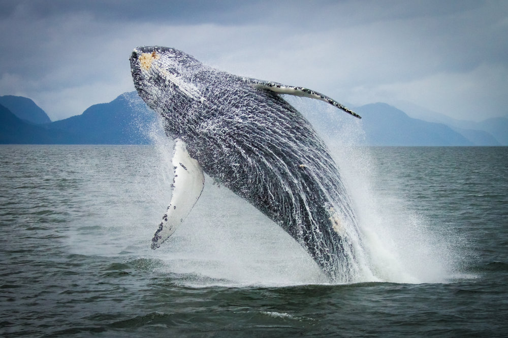 Humpback Whale, near Hartley Bay, British Columbia