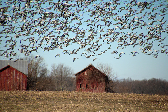 snow_geese_barn.jpg