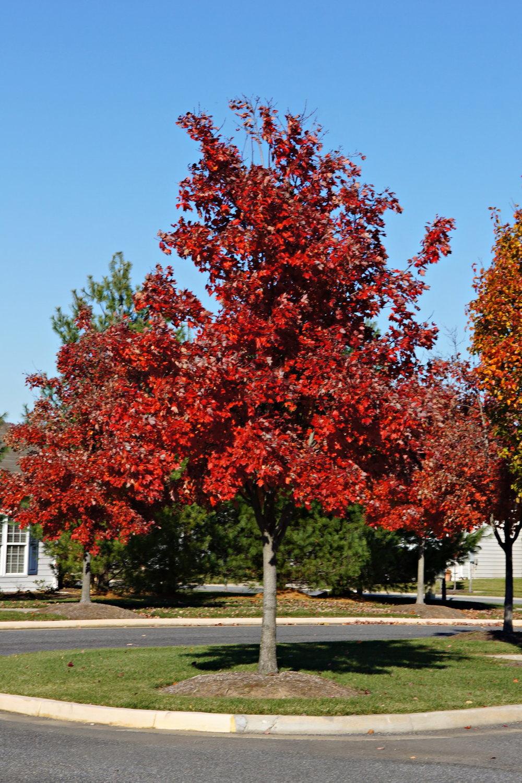 Maple tree 2.jpg