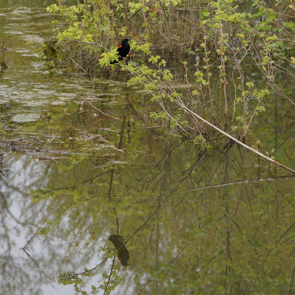 Redwing blackbird reflection_resize.jpg