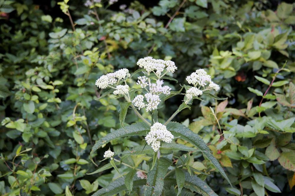 white shrub peerf clr_resize.jpg