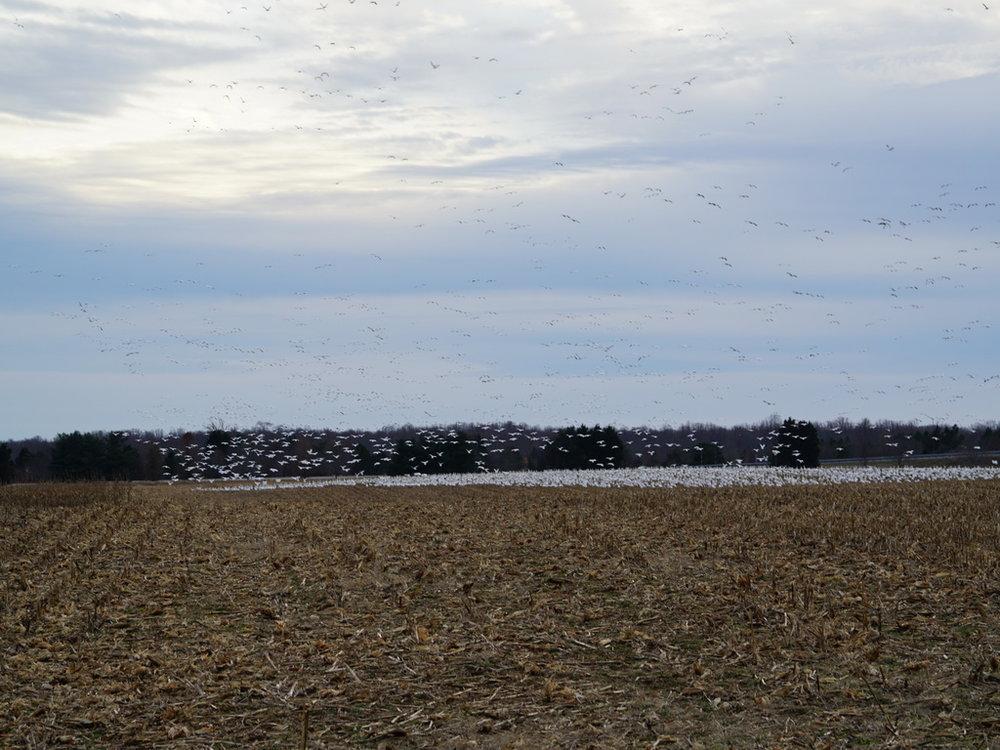 More geese landing.JPG