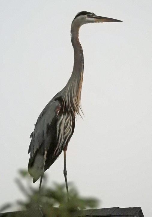 Bewildered Heron.jpg