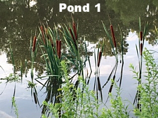Pond1Cattails&Reflections.jpg
