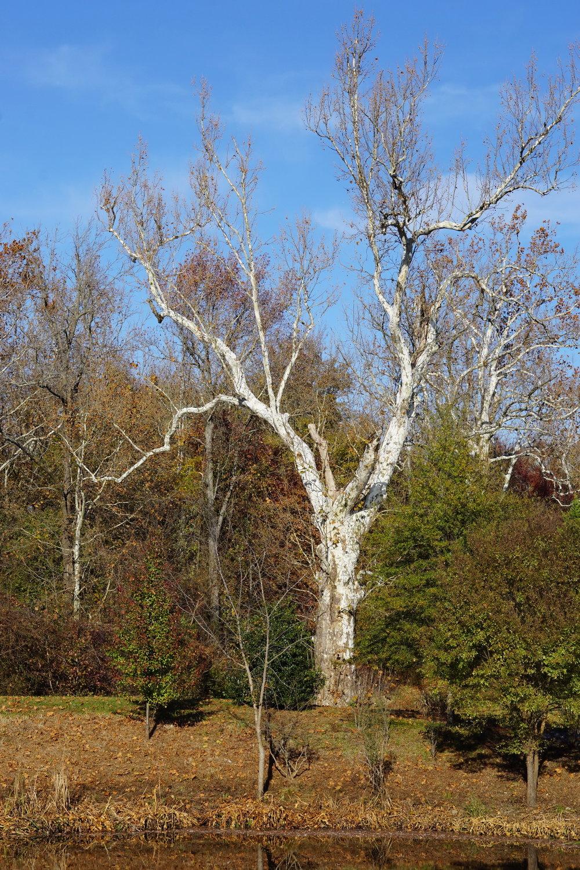 sycamore tree #2_resize.JPG