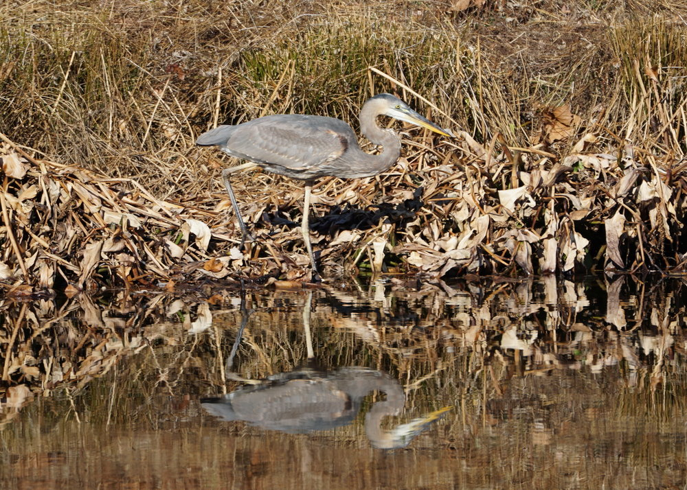 Blue Heron on Stormwater Pond 1 2.JPG