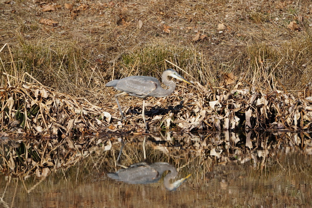 Blue Heron on Stormwater Pond 1 3.JPG