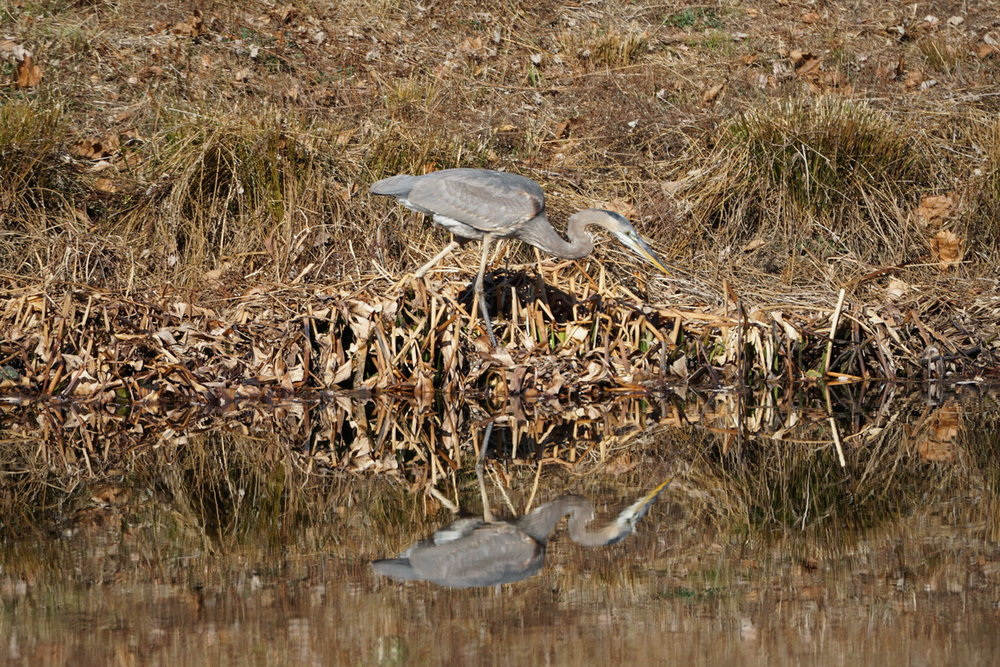 Blue Heron on Stormwater Pond 1 4.JPG