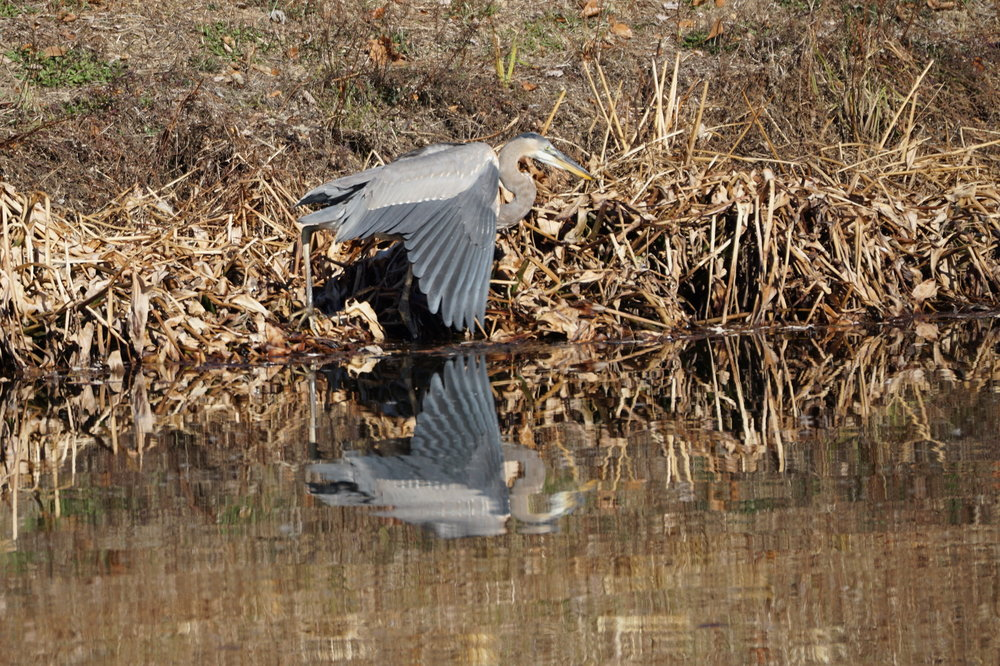 Blue Heron on Stormwater Pond 1 7.JPG