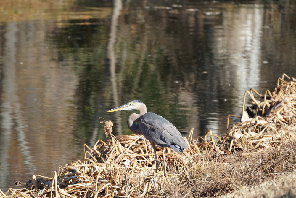 Blue Heron on Stormwater Pond 1 8.JPG