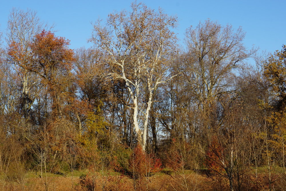 sycamore in fall morning 2.JPG