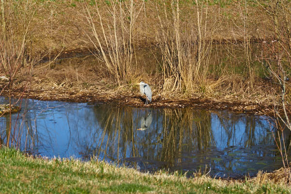Storm water pond Blue Heron.jpg