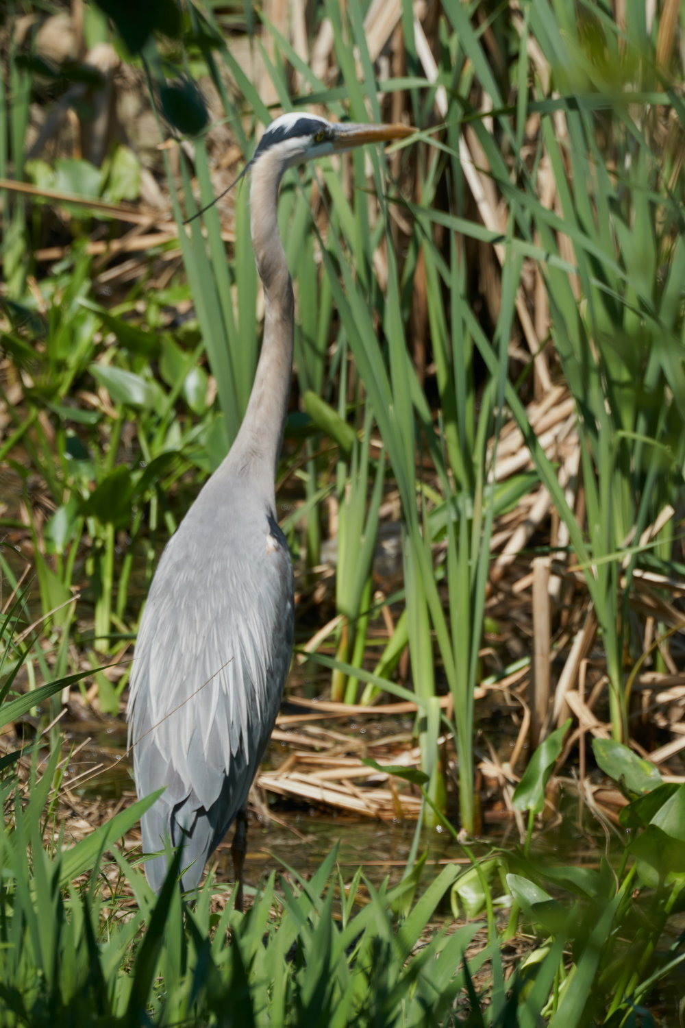 Great blue Heron 37 May 09 2018_resize.jpg