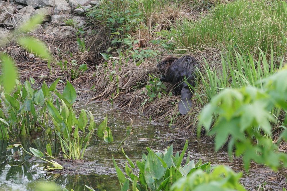 beaver 3.JPG