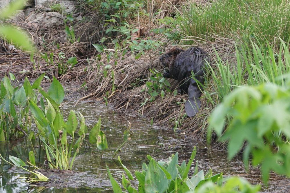 beaver 4.JPG