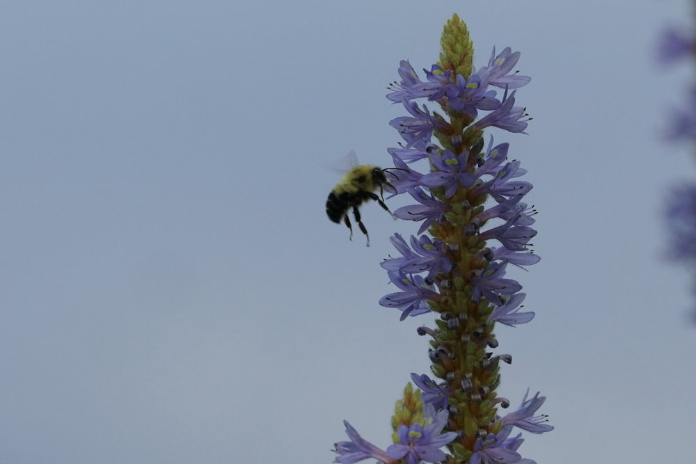 Bee on a blossom 2.JPG