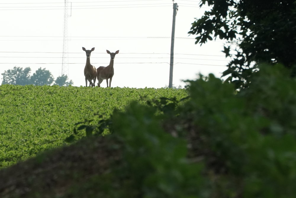 Deer in bean field.JPG