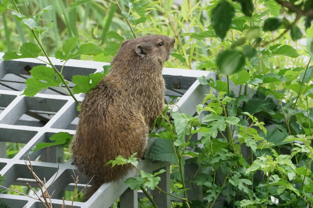 Groundhog on drain 2JPG.JPG