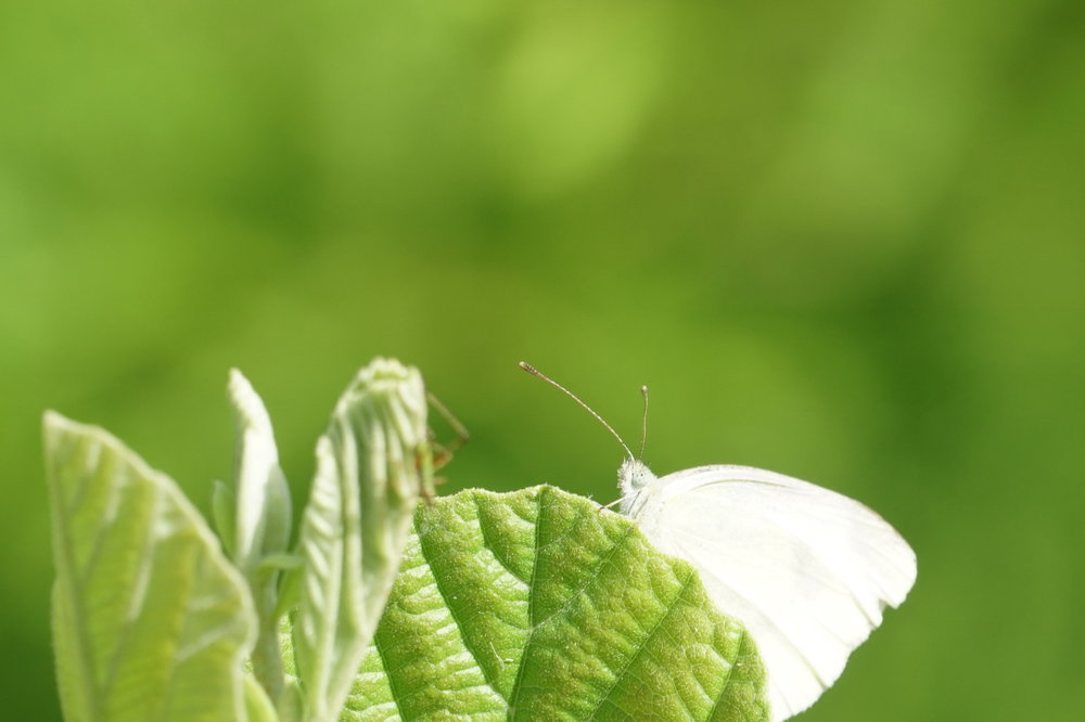 moth on a leaf.JPG