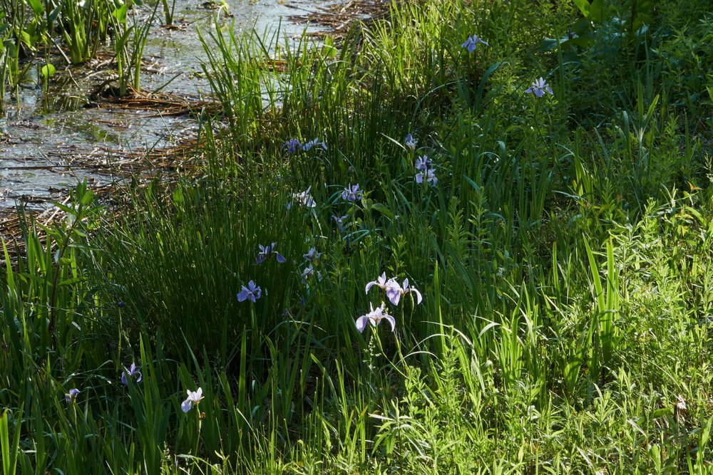Siberian Iris 3 resz storm pond one May 24 2018.jpg