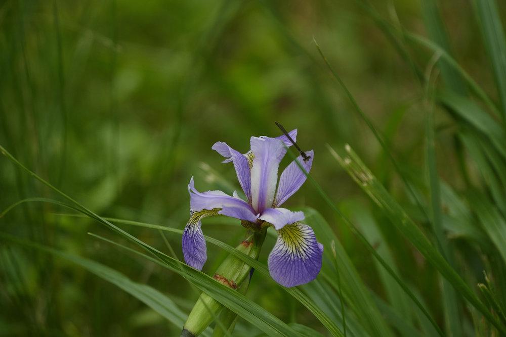 Siberian Iris May 22 2018.jpg