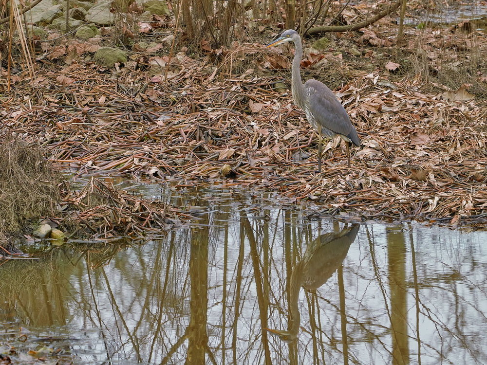 Symphony Village Pond #1 GB Heron 12-25-2018  h.jpg