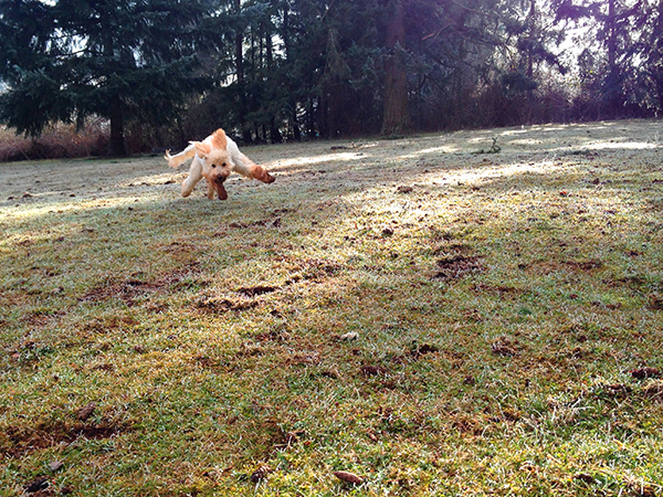 our-goldendoodle-dog-Georgie-running-by-blenda-studio