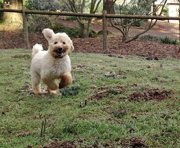 my-goldendoodle-dog-running