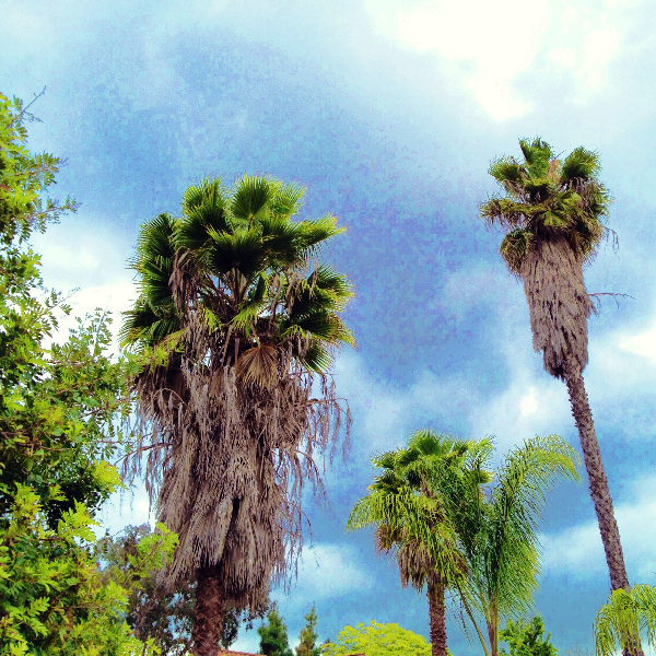 Beautiful California Palm Trees