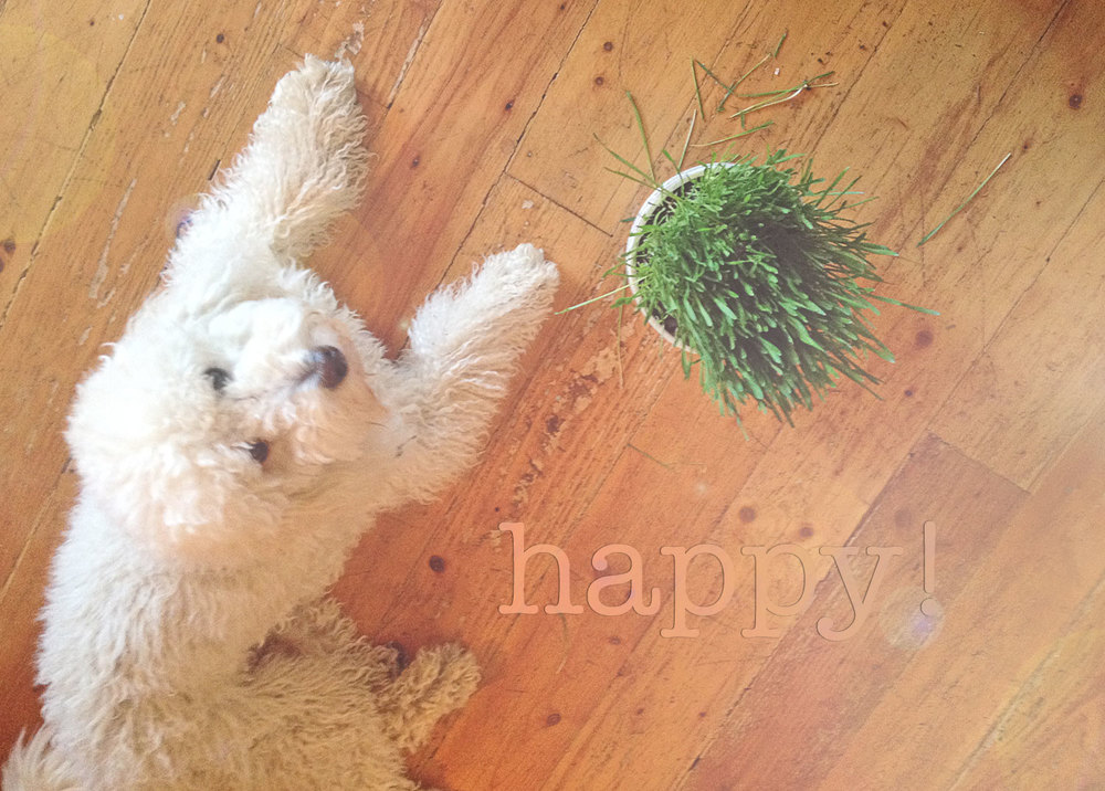 Happy golden doodle, Georgie loves indoor grass garden