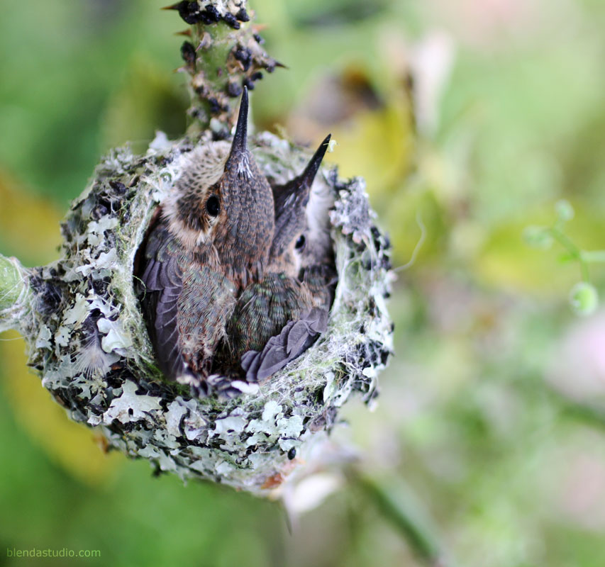 Two baby hummingbirds in a nest - blendastudio.com