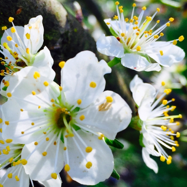 French plum blossom